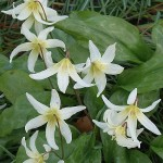 "Erythronium ""Harrington Snow Goose"" at RHS Rosemoor Garden"