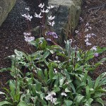 Erythronium hendersonii at Kew Gardens