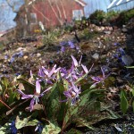 Erythronium dens-canis is widely grown as an ornamental and some 16 cultivars are currently available in UK nurseries