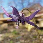 Erythronium japonicum in my garden