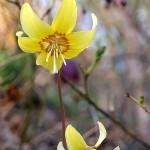 """Erythronium """"Kondo"""" in my garden"""