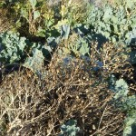 The sea kale was laden with seed
