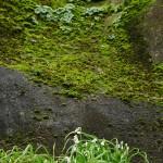 Allium triquetrum (in flower) with navelwort on vertical cliff,  Mewagissey, Cornwall