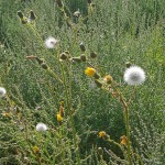 Sonchus, sow thistle