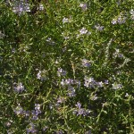 Sea rocket, Cakile