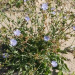 Wild chicory, Cichorium intybus
