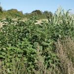 A patch of Jerusalem Artichoke on the edge of a field next to the beach