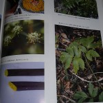 Picures of Angelica keiskei in the foraging book (left hand trio and bottom right)
