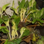 Swiss chard...the lighter coloured leaves have grown since planting in the cellar