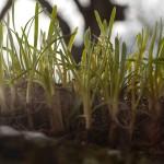 Allium senescens hybrid