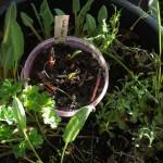 A mix in this pot, including Malva moschata (musk mallow), Primula veris, Diplotaxis (perennial rocket) and Arabis alpina