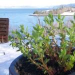 Hablitzia (Caucasian spinach) shoots