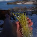 Allium senescens or hybrid shoots
