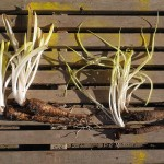 "This is a root chicory cultivar ""Cicoria di Chiavari"". This winter was exceptionally mild until recently and the roots had sprouted. Both the cooked roots and sprouts were used"