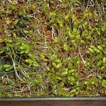 Cress (Lepidium sativum)