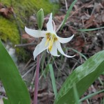...and then I saw this beauty growing by the side of the path, Erythronium oregonum