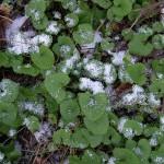 Alliaria petiolata, hedge garlic