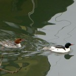 Common merganser (goosander in Europe)