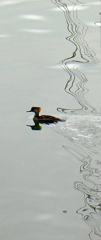 Hooded merganser (female) the only merganser restricted to North America