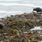 Black oystercatchers