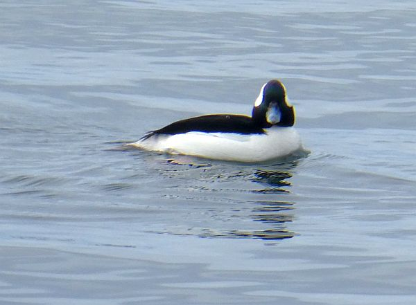 A male bufflehead (related to Goldeneyes)