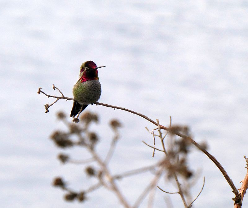 Anna's hummingbird extended its range last century from Southern California thanks to the planting of exotic winter flowering shrubs...the migratory species had yet to arrive