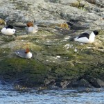 Common mergansers (goosanders in Europe)