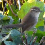 Bewick's Wren (from my room)