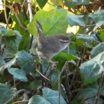 Bewick's Wren (from my room) with invasive ivy