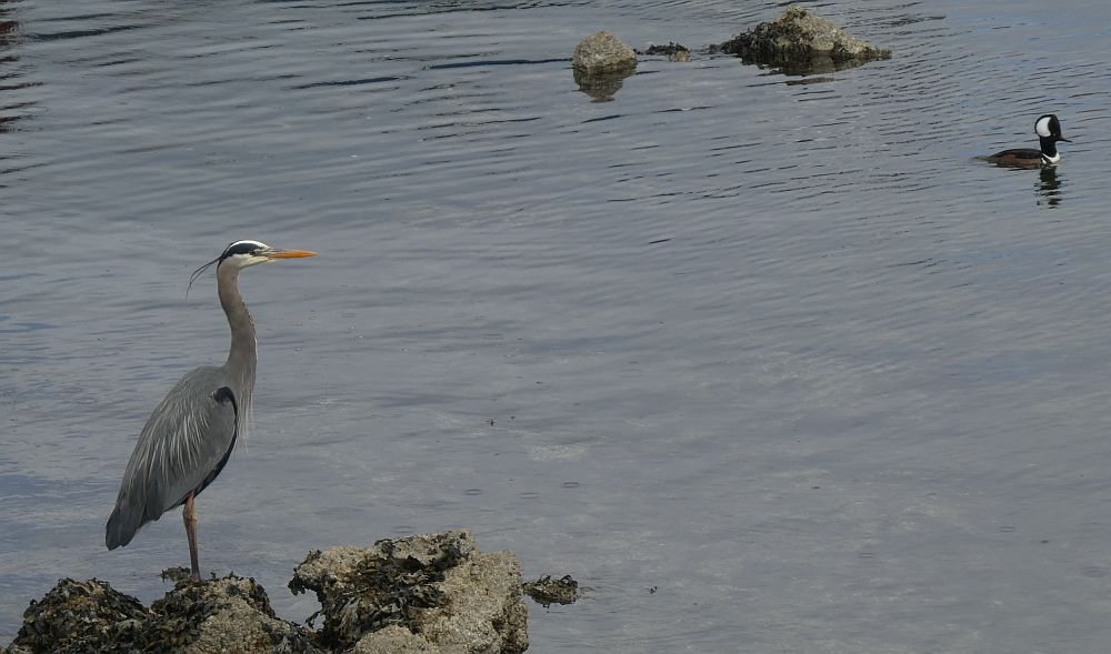 Great Blue Heron and Hooded Merganser