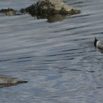 Female goosanders looking for prey