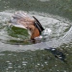 Hooded merganser diving