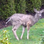 Black-tailed deer fertilising a Victoria garden