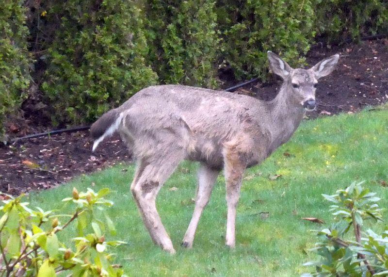 Black-tailed deer fertilising a Victoria garden