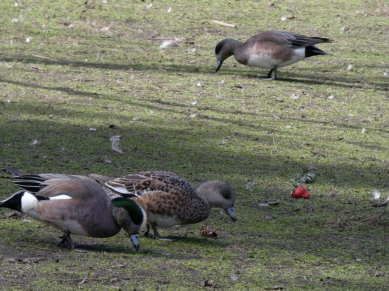 American wigeon at Beacon Hill