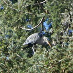 Nesting herons at Beacon Hill