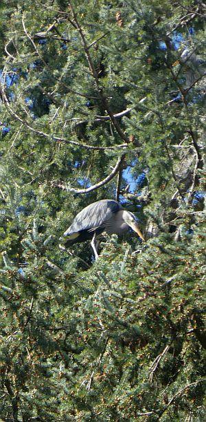 Nesting herons at Beacon Hill