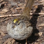 Golden-crowned sparrow at Beacon Hill