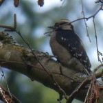 Not sure of the ID of this one? Hairy woodpecker is the closest I've got......at Beacon Hill in Victoria