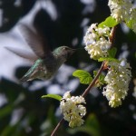 ...and a deliberate shot of an an Anna's hummingbird