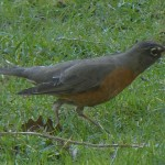 American Robin, female