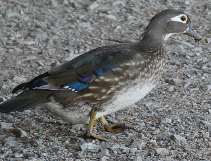 Wood duck, female