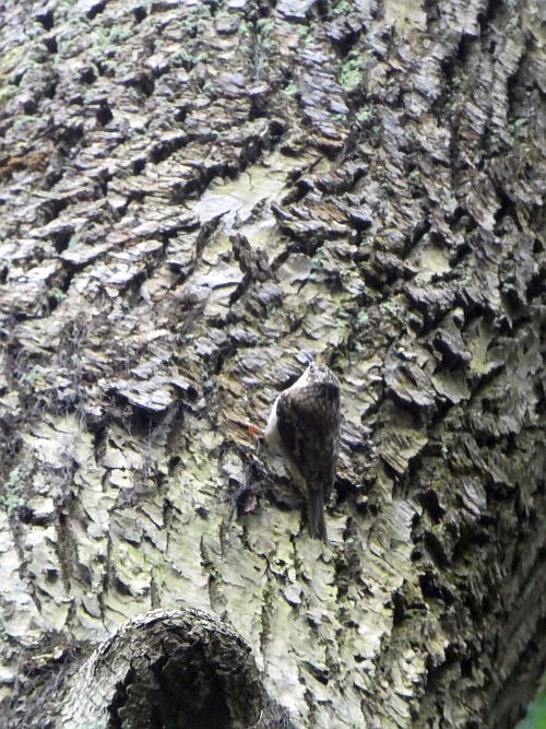 Now, a few pictures from the UBC Botanical Garden...here a brown creeper