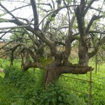 A great old organic apple tree at one end of the walled garden!