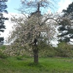 Another apple tree