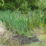 Tim's pond with Yellow flag, Bulrushes (supermarket of the swamps), water mint etc.