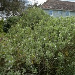 Salt tolerant edible Atriplex halimus hedge next to the sea!
