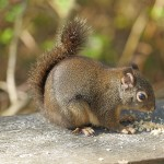 Douglas' squirrel