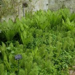 North American Ostrich Fern