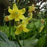 "Erythronium ""Pagoda"", one of the most vigorous varieties in this genus for growing in the edimental woodland garden"